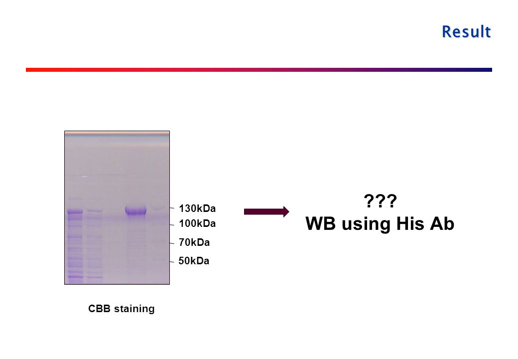 Result CBB staining 70kDa 100kDa 130kDa 50kDa WB using His Ab