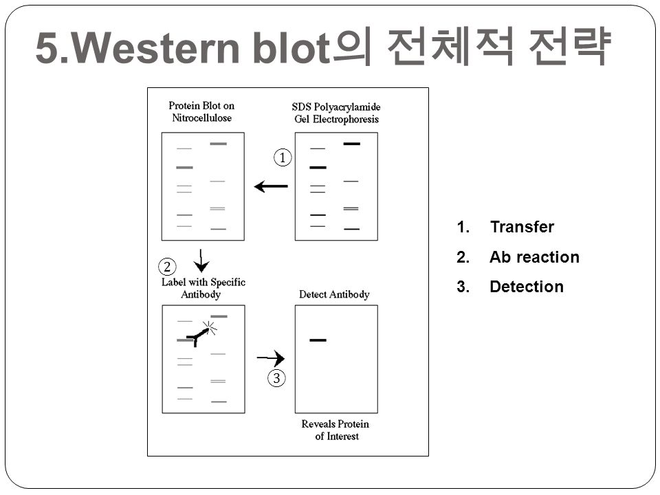 ① ② ③ 1.Transfer 2.Ab reaction 3.Detection 5.Western blot 의 전체적 전략
