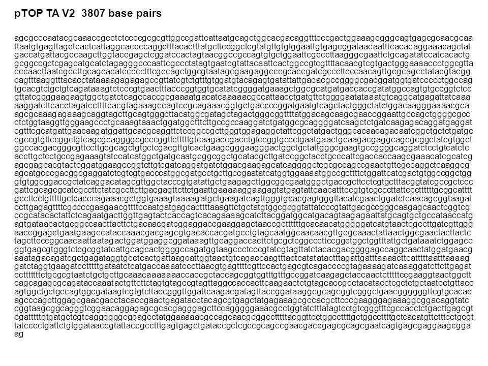 pTOP TA V2 3807 base pairs agcgcccaatacgcaaaccgcctctccccgcgcgttggccgattcattaatgcagctggcacgacaggtttcccgactggaaagcgggcagtgagcgcaacgcaa ttaatgtgagttagctcactcattaggcaccccaggctttacactttatgcttccggctcgtatgttgtgtggaattgtgagcggataacaatttcacacaggaaacagctat gaccatgattacgccaagcttggtaccgagctcggatccactagtaacggccgccagtgtgctggaattcgcccttaagggcgaattctgcagatatccatcacactg gcggccgctcgagcatgcatctagagggcccaattcgccctatagtgaatcgtattacaattcactggccgtcgttttacaacgtcgtgactgggaaaaccctggcgtta cccaacttaatcgccttgcagcacatccccctttcgccagctggcgtaatagcgaagaggcccgcaccgatcgcccttcccaacagttgcgcagcctatacgtacgg cagtttaaggtttacacctataaaagagagagccgttatcgtctgtttgtggatgtacagagtgatattattgacacgccggggcgacggatggtgatccccctggccag tgcacgtctgctgtcagataaagtctcccgtgaactttacccggtggtgcatatcggggatgaaagctggcgcatgatgaccaccgatatggccagtgtgccggtctcc gttatcggggaagaagtggctgatctcagccaccgcgaaaatgacatcaaaaacgccattaacctgatgttctggggaatataaatgtcaggcatgagattatcaaa aaggatcttcacctagatccttttcacgtagaaagccagtccgcagaaacggtgctgaccccggatgaatgtcagctactgggctatctggacaagggaaaacgca agcgcaaagagaaagcaggtagcttgcagtgggcttacatggcgatagctagactgggcggttttatggacagcaagcgaaccggaattgccagctggggcgcc ctctggtaaggttgggaagccctgcaaagtaaactggatggctttcttgccgccaaggatctgatggcgcaggggatcaagctctgatcaagagacaggatgaggat cgtttcgcatgattgaacaagatggattgcacgcaggttctccggccgcttgggtggagaggctattcggctatgactgggcacaacagacaatcggctgctctgatgc cgccgtgttccggctgtcagcgcaggggcgcccggttctttttgtcaagaccgacctgtccggtgccctgaatgaactgcaagacgaggcagcgcggctatcgtggct ggccacgacgggcgttccttgcgcagctgtgctcgacgttgtcactgaagcgggaagggactggctgctattgggcgaagtgccggggcaggatctcctgtcatctc accttgctcctgccgagaaagtatccatcatggctgatgcaatgcggcggctgcatacgcttgatccggctacctgcccattcgaccaccaagcgaaacatcgcatcg agcgagcacgtactcggatggaagccggtcttgtcgatcaggatgatctggacgaagagcatcaggggctcgcgccagccgaactgttcgccaggctcaaggcg agcatgcccgacggcgaggatctcgtcgtgacccatggcgatgcctgcttgccgaatatcatggtggaaaatggccgcttttctggattcatcgactgtggccggctgg gtgtggcggaccgctatcaggacatagcgttggctacccgtgatattgctgaagagcttggcggcgaatgggctgaccgcttcctcgtgctttacggtatcgccgctccc gattcgcagcgcat