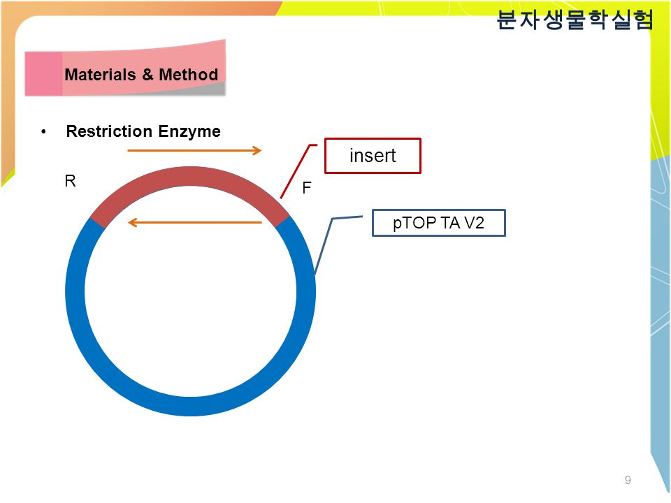 9 분자생물학실험 Materials & Method Restriction Enzyme insert pTOP TA V2 R F