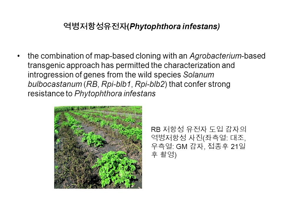역병저항성유전자 (Phytophthora infestans) the combination of map-based cloning with an Agrobacterium-based transgenic approach has permitted the characterization and introgression of genes from the wild species Solanum bulbocastanum (RB, Rpi-blb1, Rpi-blb2) that confer strong resistance to Phytophthora infestans RB 저항성 유전자 도입 감자의 역병저항성 사진 ( 좌측열 : 대조, 우측열 : GM 감자, 접종후 21 일 후 촬영 )