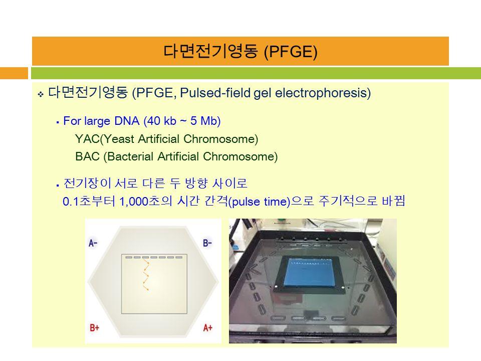 다면전기영동 (PFGE)  다면전기영동 (PFGE, Pulsed-field gel electrophoresis)  For large DNA (40 kb ~ 5 Mb) YAC(Yeast Artificial Chromosome) BAC (Bacterial Artificial Chromosome)  전기장이 서로 다른 두 방향 사이로 0.1 초부터 1,000 초의 시간 간격 (pulse time) 으로 주기적으로 바뀜