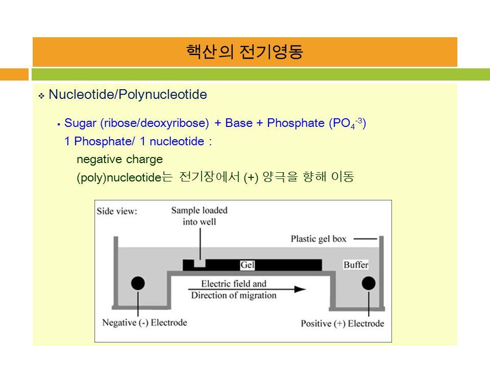핵산의 전기영동  Nucleotide/Polynucleotide  Sugar (ribose/deoxyribose) + Base + Phosphate (PO 4 -3 ) 1 Phosphate/ 1 nucleotide : negative charge (poly)nucleotide 는 전기장에서 (+) 양극을 향해 이동