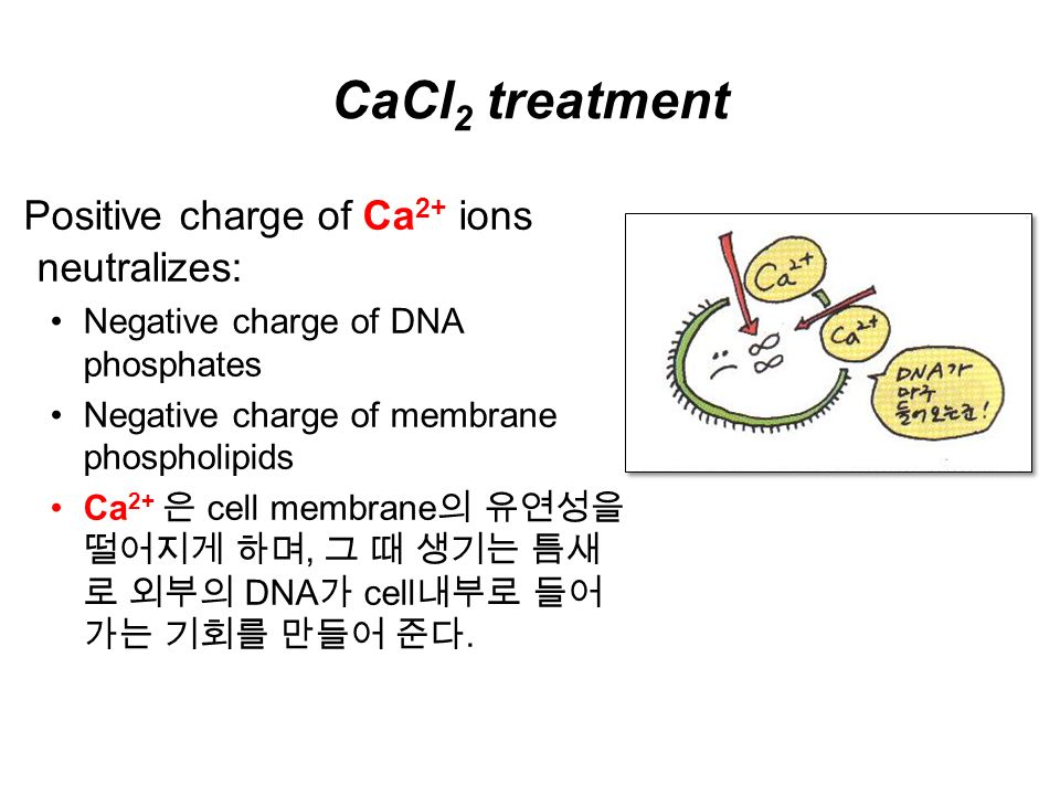 CaCl 2 treatment Positive charge of Ca 2+ ions neutralizes: Negative charge of DNA phosphates Negative charge of membrane phospholipids Ca 2+ 은 cell membrane 의 유연성을 떨어지게 하며, 그 때 생기는 틈새 로 외부의 DNA 가 cell 내부로 들어 가는 기회를 만들어 준다.