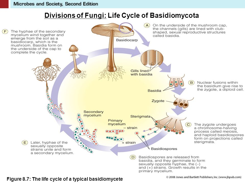 Divisions of Fungi: Life Cycle of Basidiomycota Figure 8.7: The life cycle of a typical basidiomycete