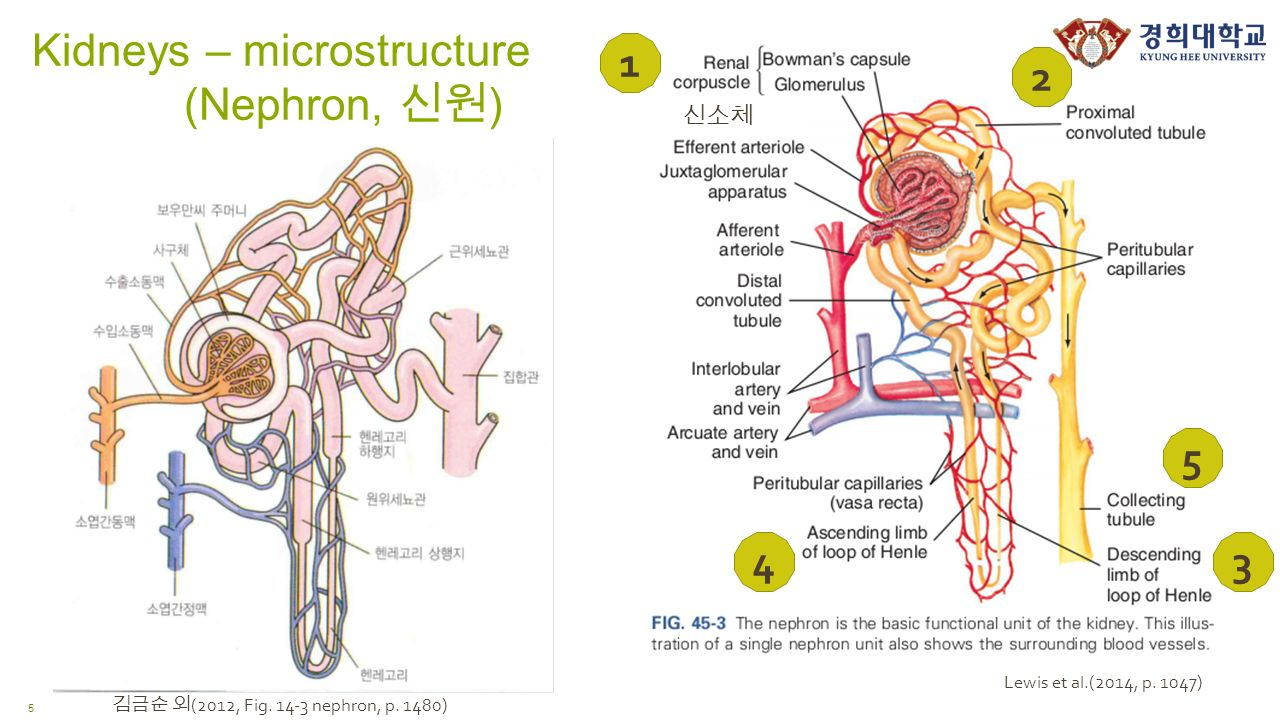Kidneys – microstructure (Nephron, 신원 ) 신소체 5 Lewis et al.(2014, p.