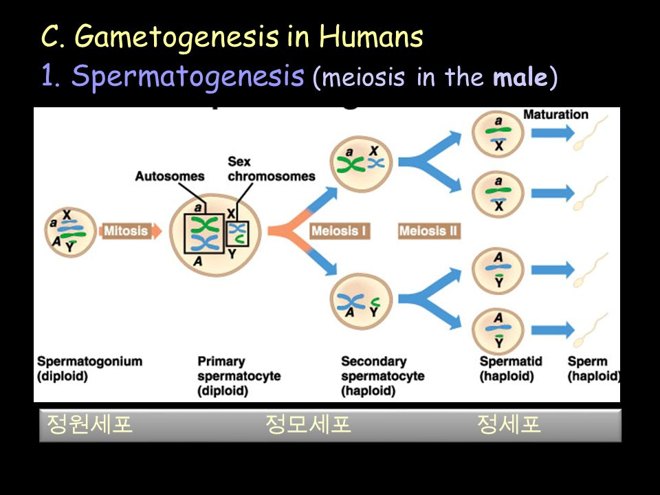 C. Gametogenesis in Humans 1. Spermatogenesis (meiosis in the male) 정원세포 정모세포 정세포
