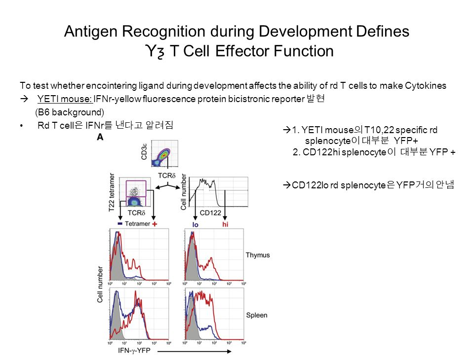 Antigen Recognition during Development Defines Ƴƺ T Cell Effector Function To test whether encointering ligand during development affects the ability of rd T cells to make Cytokines  YETI mouse: IFNr-yellow fluorescence protein bicistronic reporter 발현 (B6 background) Rd T cell은 IFNr를 낸다고 알려짐  1.