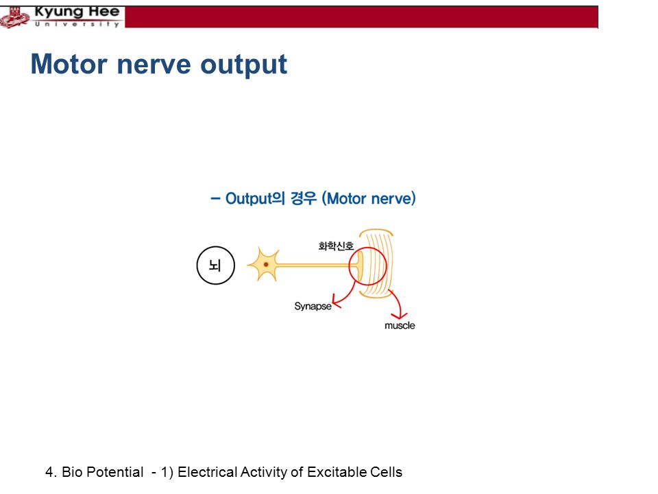 4. Bio Potential - 1) Electrical Activity of Excitable Cells Motor nerve output