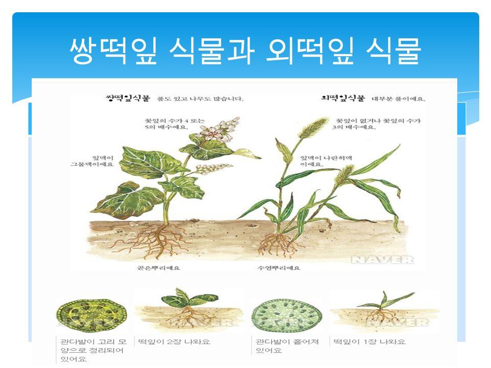 쌍떡잎 식물과 외떡잎 식물 쌍떡잎 식물외떡잎 식물 풀도 있고 나무도 많아요. 꽃잎의 수가 4 또는 5 의 배수 예요.