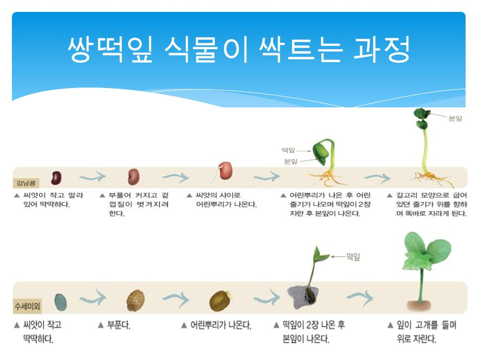 쌍떡잎 식물이 싹트는 과정