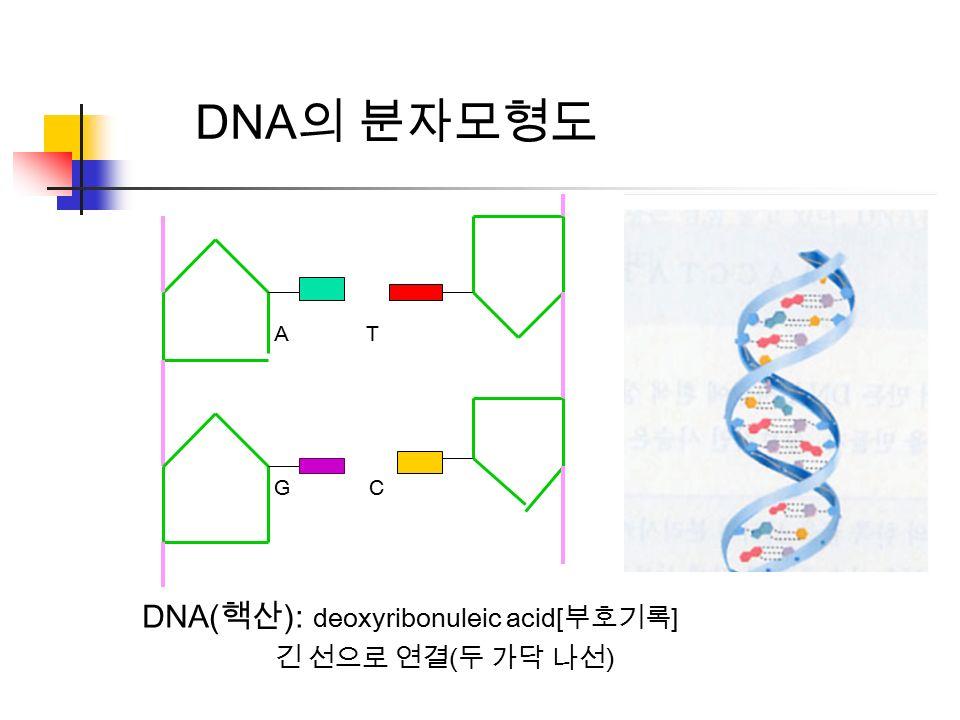 A T G C DNA 의 분자모형도 DNA( 핵산 ): deoxyribonuleic acid[ 부호기록 ] 긴 선으로 연결 ( 두 가닥 나선 )