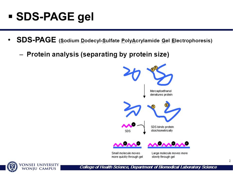 2 College of Health Science, Department of Biomedical Laboratory Science  SDS-PAGE gel SDS-PAGE (Sodium Dodecyl-Sulfate PolyAcrylamide Gel Electrophoresis) –Protein analysis (separating by protein size)