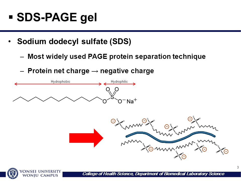 3 College of Health Science, Department of Biomedical Laboratory Science  SDS-PAGE gel Sodium dodecyl sulfate (SDS) –Most widely used PAGE protein separation technique –Protein net charge → negative charge HydrophobicHydrophilic