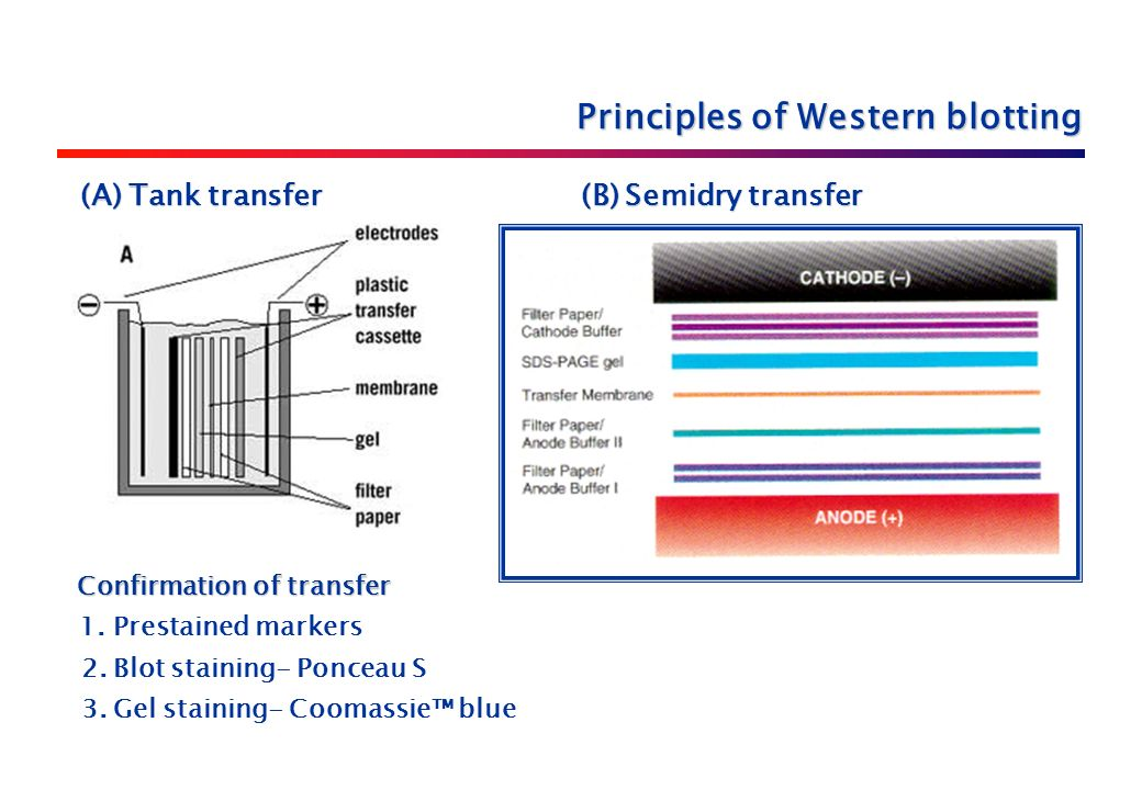 (A) Tank transfer (B) Semidry transfer (A) Tank transfer (B) Semidry transfer Confirmation of transfer Confirmation of transfer 1.