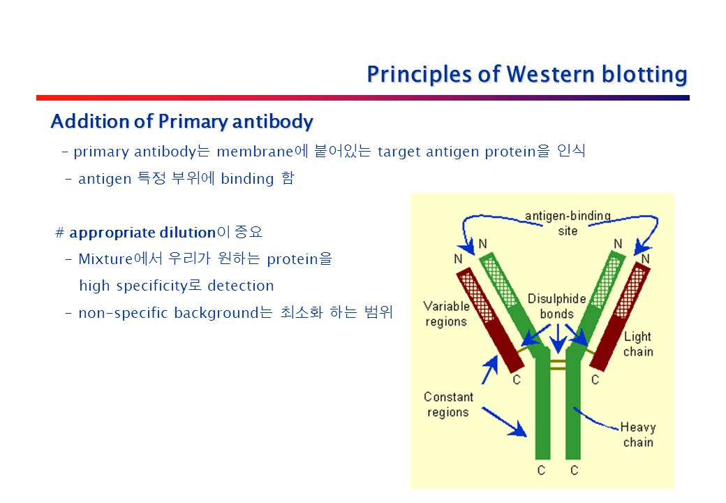 Addition of Primary antibody - primary antibody 는 membrane 에 붙어있는 target antigen protein 을 인식 - antigen 특정 부위에 binding 함 # appropriate dilution 이 중요 - Mixture 에서 우리가 원하는 protein 을 high specificity 로 detection - non-specific background 는 최소화 하는 범위 Principles of Western blotting