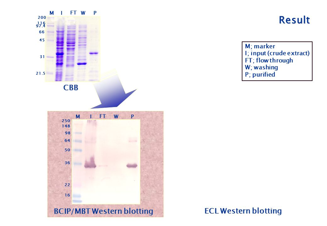 BCIP/MBT Western blotting MI FT W P ECL Western blotting I FT W P CBB MI FT W P M; marker I; input (crude extract) FT; flow through W; washing P; purified Result