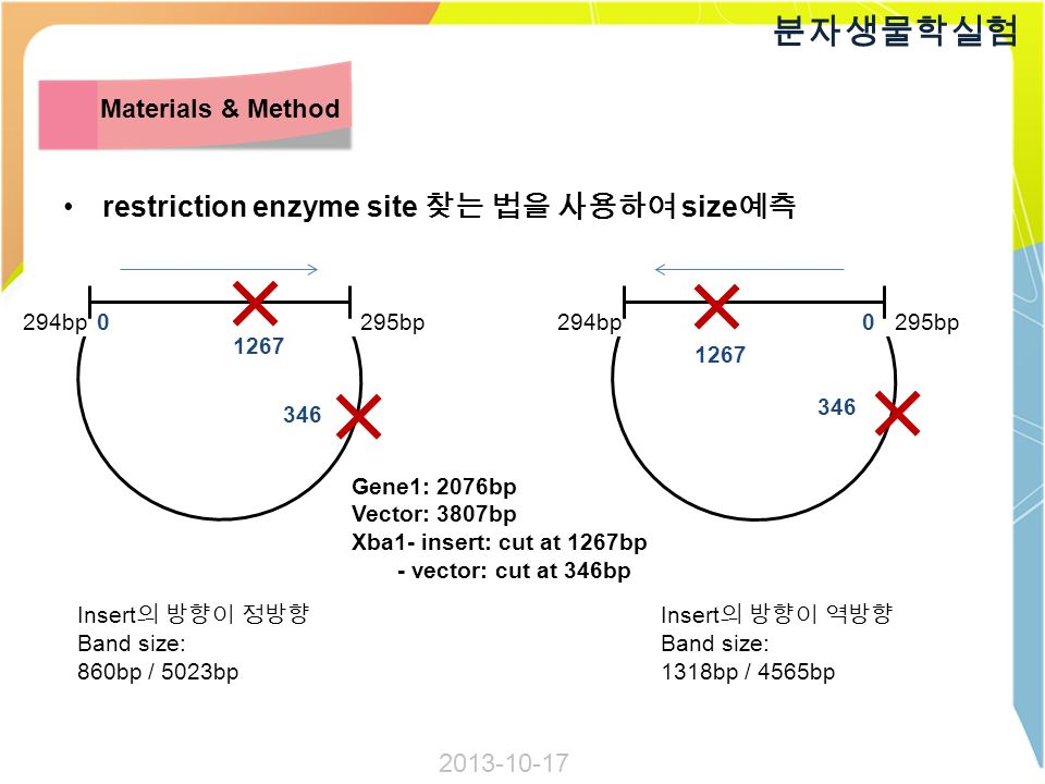 restriction enzyme site 찾는 법을 사용하여 size 예측 분자생물학실험 Materials & Method 294bp295bp 294bp295bp Gene1: 2076bp Vector: 3807bp Xba1- insert: cut at 1267bp - vector: cut at 346bp Insert 의 방향이 역방향 Band size: 1318bp / 4565bp Insert 의 방향이 정방향 Band size: 860bp / 5023bp