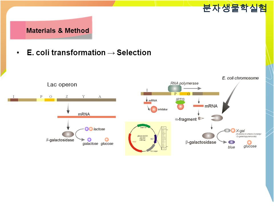 E. coli transformation → Selection 분자생물학실험 Materials & Method