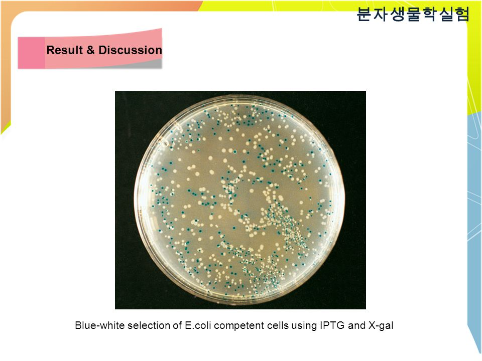 Blue-white selection of E.coli competent cells using IPTG and X-gal 분자생물학실험 Result & Discussion