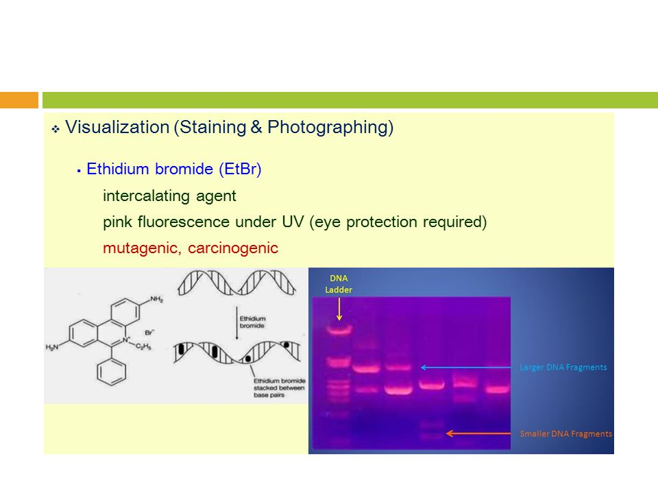  Visualization (Staining & Photographing)  Ethidium bromide (EtBr) intercalating agent pink fluorescence under UV (eye protection required) mutagenic, carcinogenic