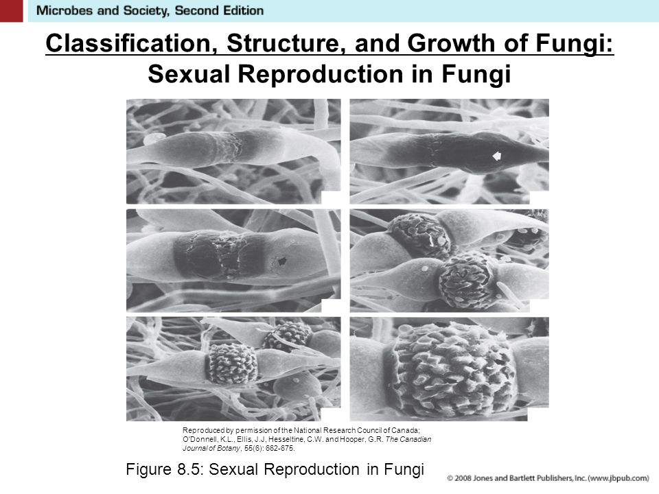 Classification, Structure, and Growth of Fungi: Sexual Reproduction in Fungi Figure 8.5: Sexual Reproduction in Fungi Reproduced by permission of the National Research Council of Canada; O Donnell, K.L., Ellis, J.J, Hesseltine, C.W.