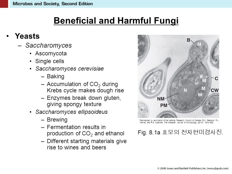 Beneficial and Harmful Fungi Yeasts –Saccharomyces Ascomycota Single cells Saccharomyces cerevisiae –Baking –Accumulation of CO 2 during Krebs cycle makes dough rise –Enzymes break down gluten, giving spongy texture Saccharomyces ellipsoideus –Brewing –Fermentation results in production of CO 2 and ethanol –Different starting materials give rise to wines and beers Fig.