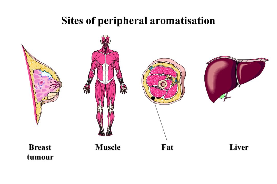 Sites of peripheral aromatisation BreasttumourMuscleFatLiver