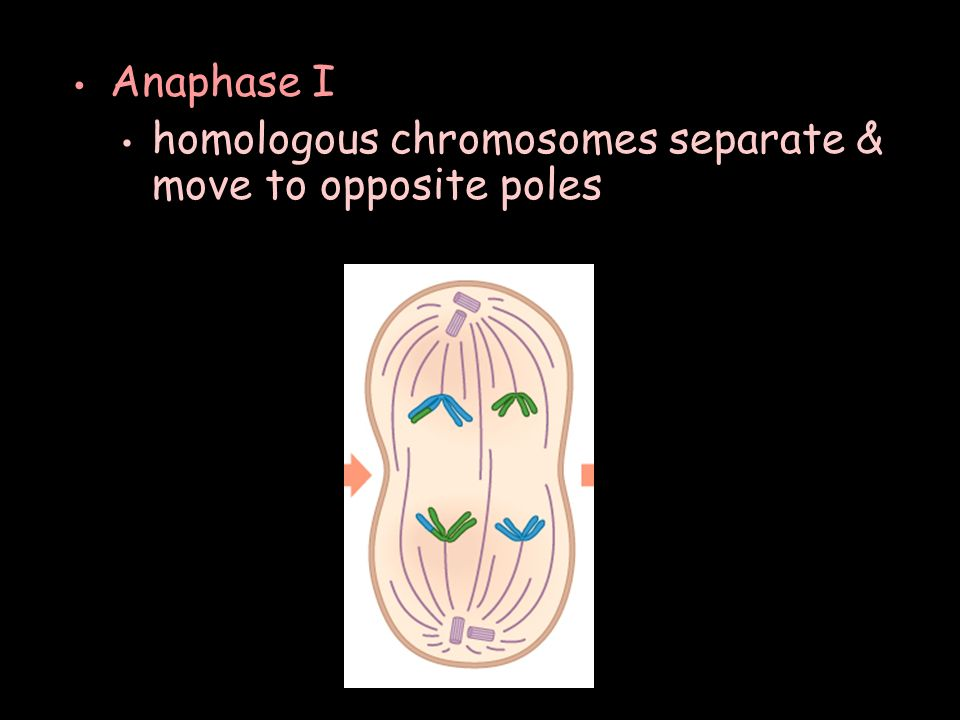 Anaphase I homologous chromosomes separate & move to opposite poles