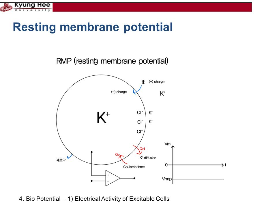 4. Bio Potential - 1) Electrical Activity of Excitable Cells Resting membrane potential