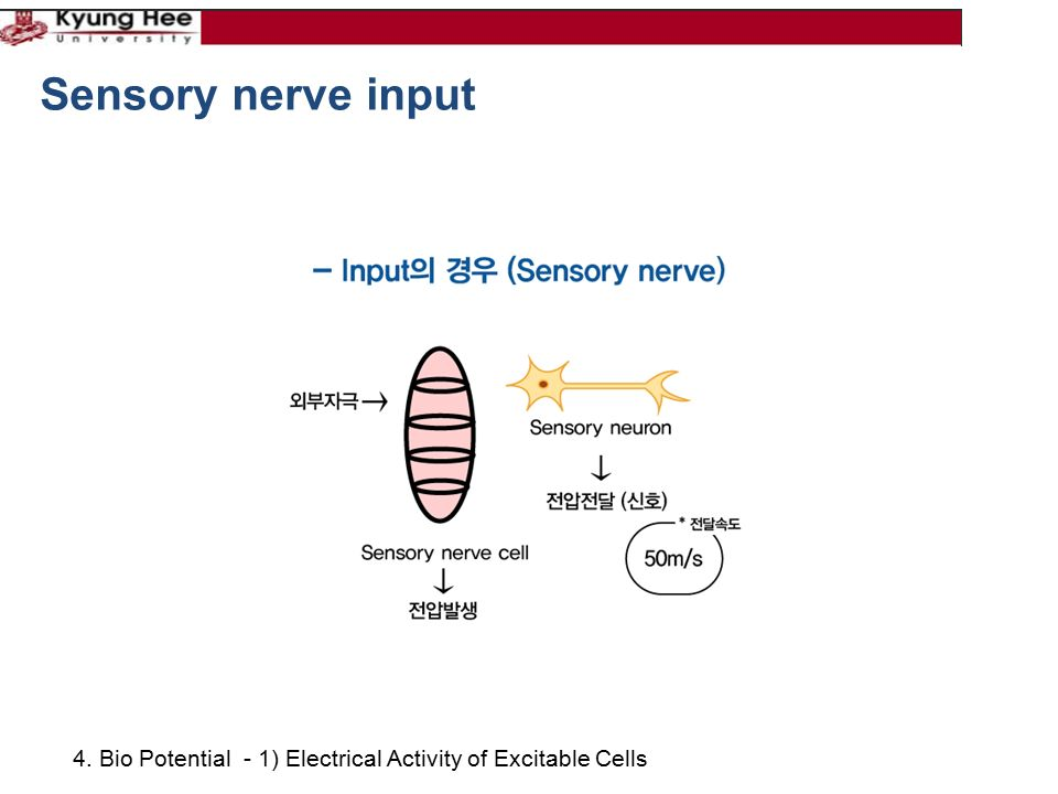 4. Bio Potential - 1) Electrical Activity of Excitable Cells Sensory nerve input