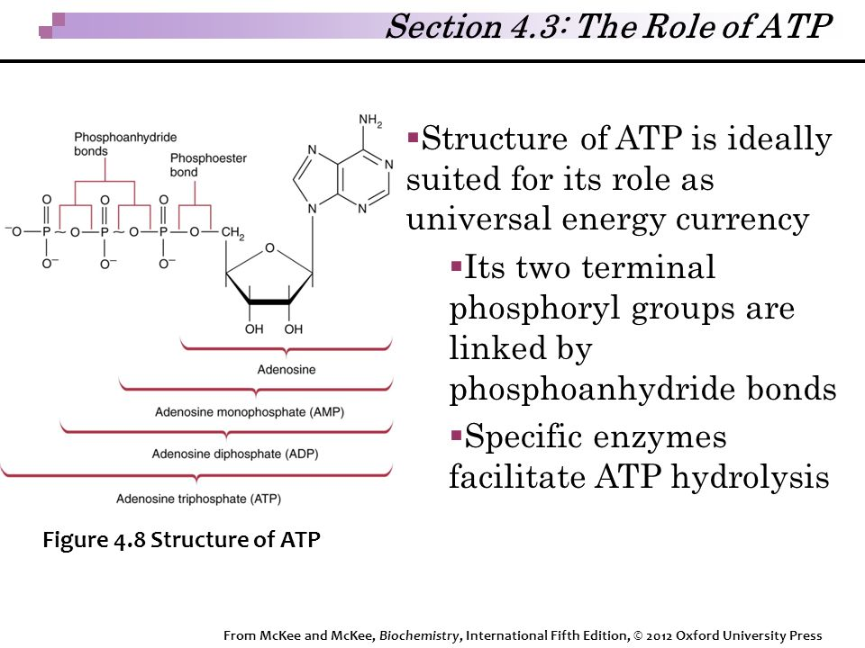  Structure of ATP is ideally suited for its role as universal energy currency  Its two terminal phosphoryl groups are linked by phosphoanhydride bonds  Specific enzymes facilitate ATP hydrolysis Figure 4.8 Structure of ATP Section 4.3: The Role of ATP From McKee and McKee, Biochemistry, International Fifth Edition, © 2012 Oxford University Press